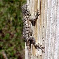 Lizards Found In Your Backyard