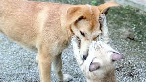 cats and dogs playing. Plain And For Cats And Dogs Playing