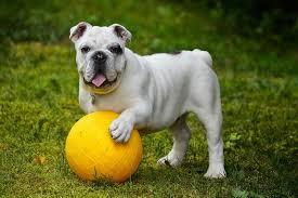 white english bulldog. Unique English Grooming And Training An English Bulldog _ White With A  Yellow Collar Inside White Bulldog F