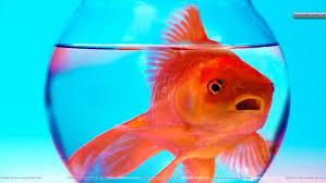 goldfish too big for bowl 1920x1080