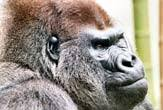 <b>Mystery</b> Solved: Why Gorillas Eat Rotting <b>Wood</b> | Live Science