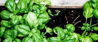 to grow a healthy happy herb garden