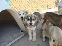 husky lab mix puppy. Beautiful Lab HuskyLab Mixed Puppies  What We Think Ella Is  Love That One In The  Middle Looks Just Like Her But Grey To Husky Lab Mix Puppy I