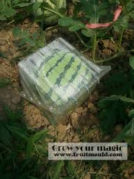 square watermelon plant.  Square Square Watermelon Growing On Shape Mold Box With Square Watermelon Plant O