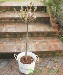 patio peach trees delivered as gifts