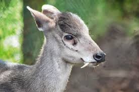 cute tufted deer