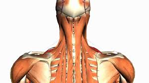 Intermediate And Deep Muscles Of The Back Anatomy Tutorial