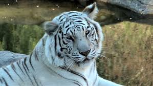 white tiger growling. Wonderful White Close Up Of White Bengal Stock Footage Video 100 Royaltyfree 4216249   Shutterstock For Tiger Growling G