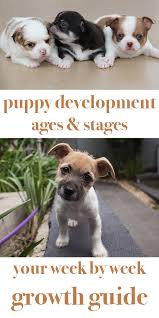 Rat Terrier Age Chart Puppy Development Stages With Growth Charts And Week By Week