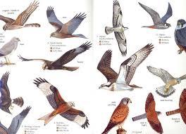 Bird Of Prey Identification Guide British Birds Of Prey