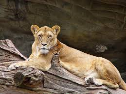 lioness. Interesting Lioness Lioness Throughout