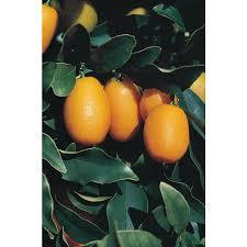 Nagami Kumquat Growing Information  TastyLandscapeTastyLandscapeKumquat Tree Not Bearing Fruit