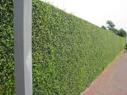 hedged walls | hedge  some of it rising from the top of a stone retaining