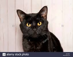black cats with yellow eyes kitten. Contemporary Cats Portrait Of An Adorable Black Cat With Intense Yellow Eyes Looking Directly  At Viewer Wood And Black Cats With Yellow Eyes Kitten B