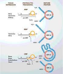 Pathophysiology Of Chf The Natriuretic Peptides System In The Pathophysiology Of Heart