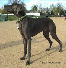 the left side of a dark gray tall weimaraner dog that is standing in dirt