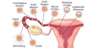 Die befruchtung der eizelle und die einnistung des keims