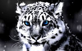 white tiger with blue eyes in snow. Exellent Snow View Original Size White Tiger With Blue Eyes Wallpaper Amazing Wallpapers Throughout In Snow