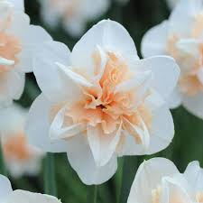 Narcissus \u0027Replete Improved\u0027 | narcissus | Pinterest | Daffodil ...