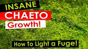 Ufo Grow Light Refugium Insane Chaeto Algae Growth How To Light Your Refugium With Chaetomorpha