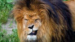 lion wallpapers backgrounds images 1920x1080 best lion desktop wallpaper sort wallpapers by ratings