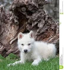newborn white wolf pup. Beautiful Pup Arctic Wolf Pup With Newborn White Wolf Pup U
