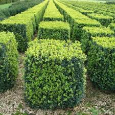 Small Picture Best 25 Buxus sempervirens ideas on Pinterest Buxus Boxwood
