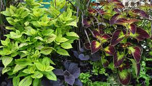 Leaf Color Chart For Sale How To Grow Coleus Growing Coleus Gardeners Supply