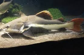 Penyebab Ikan Lele Tidak Mau Makan