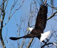 Bald <b>Eagles of the</b> Hudson River - NYS Dept. of Environmental ...