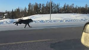 Watch See what happens when wild wolves race a car on Canadian.