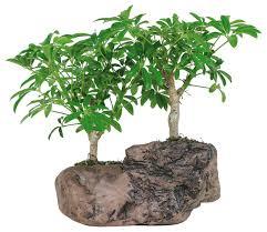 hawaiian umbrella bonsai tree in rock pot asian plants bonsai tree office table