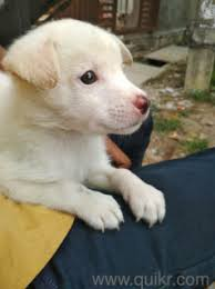 1 month old pemerian dog in chanda nagar hyderabad pets on hyderabad quikr clifieds