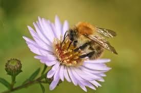 Bee Identification Chart Uk Different Kinds Of Bees Berks Bucks Oxon Wildlife Trust