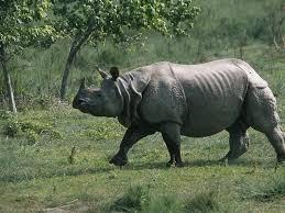 Pictures of the asian one-horned rhino