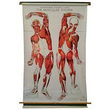 "Nystrom Frohse Art Medical Chart,"" The Muscular System"" For Sale At ..."