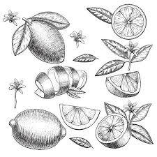 レモン ベクトル インクと鉛筆で柑橘類の手描きのスケッチレトロな詳細