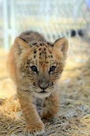 cute baby liger. Delighful Liger Liger Cub In Cute Baby