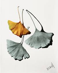>ginkgo leaves art fine art america ginkgo leaves wall art mixed media ginkgo leaves by garry mcmichael