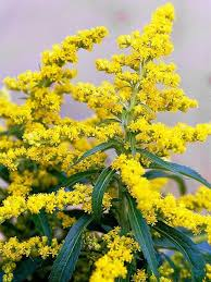 Goldenrod: With a name like goldenrod, you know this plant has to ...