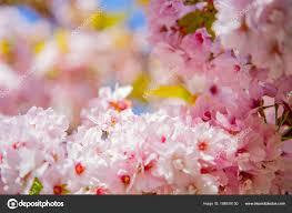 Cherry Blossom Backdrop Selective Focus Beautiful Cherry Tree Blossom Backdrop