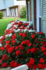 best summer bedding plants ideas on perennials bulb flowers and perennial gardens shade