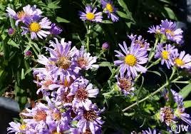 Aster (Symphyotrichum) chilensis 'Purple Haze' | California Flora ...