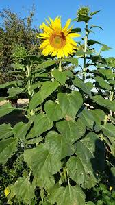 Sunflower Growing Chart Growing Sunflowers How To Plant Care For Sensational