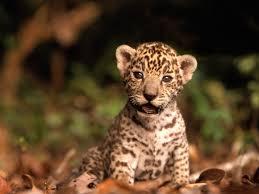 baby jaguar wallpaper. Exellent Jaguar Baby Animals Images Jaguar Cub HD Wallpaper And Background Photos Intended Jaguar Wallpaper Fanpop