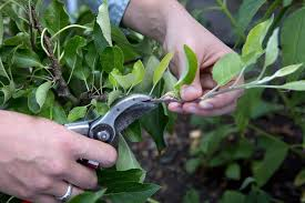 3 Ways To Prune A Cherry Tree  WikiHowCan You Prune Fruit Trees In The Summer