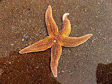 starfish common starfish