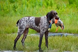 dog with duck in his mouth