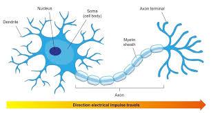 Neurons Bioninja