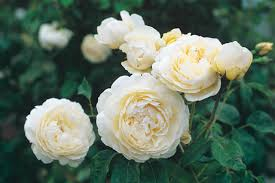 Rose U0027Windermereu0027 AushomerFragrant Rose Plants